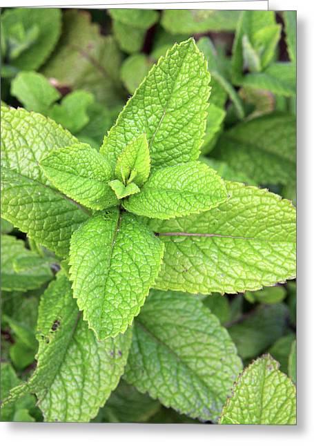 Green Mint Leaves Greeting Card by Aidan Moran