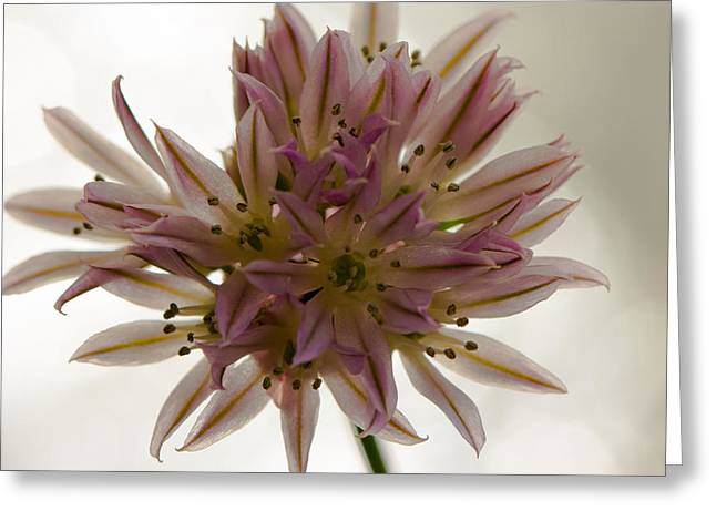 Close Up Floral Pyrography Greeting Cards - Green Onion Greeting Card by Peteris Vaivars