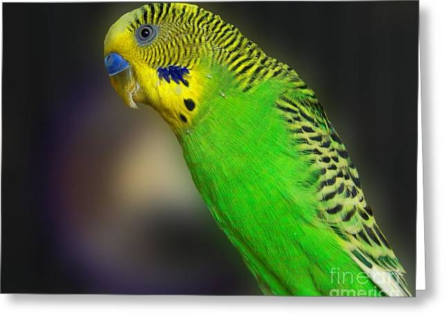 Small Birds Greeting Cards - Green Parakeet Portrait Greeting Card by Jai Johnson