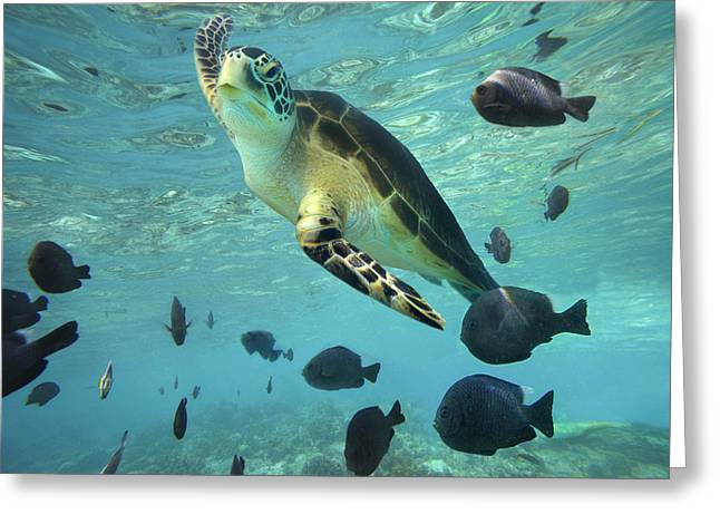 Green Sea Turtle Greeting Cards - Green Sea Turtle Balicasag Island Greeting Card by Tim Fitzharris