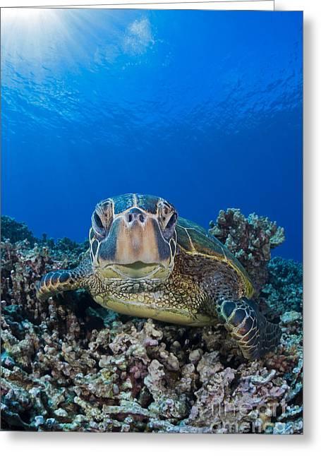 Niihau Hawaii Greeting Cards - Green Sea Turtle  Chelonia Mydas , An Greeting Card by Dave Fleetham
