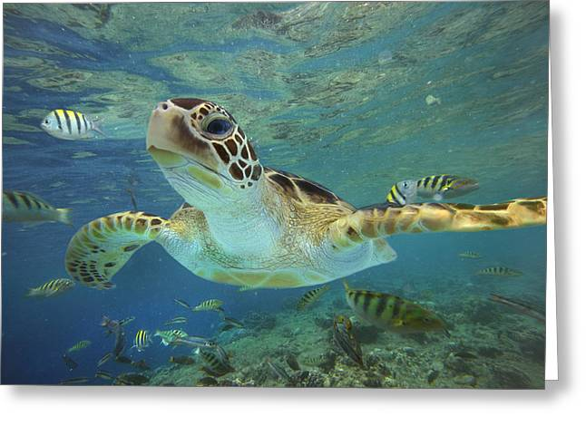 Swimming Greeting Cards - Green Sea Turtle Chelonia Mydas Greeting Card by Tim Fitzharris