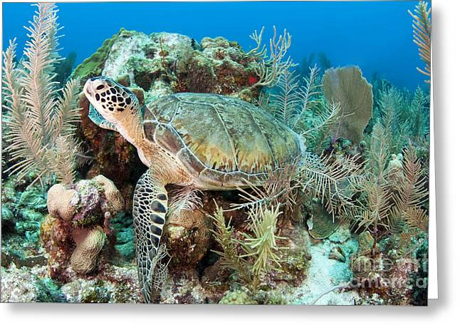 Ocean Habitat Greeting Cards - Green Sea Turtle On Caribbean Reef Greeting Card by Karen Doody