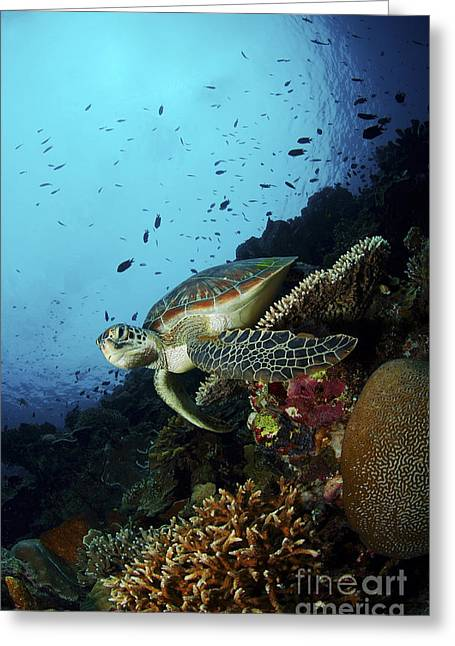Green Turtle Greeting Cards - Green Sea Turtle Resting On A Plate Greeting Card by Mathieu Meur