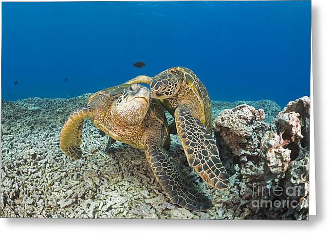 Niihau Hawaii Greeting Cards - Green Sea Turtles  Chelonia Mydas , An Greeting Card by Dave Fleetham