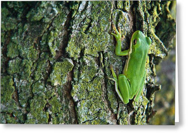 Lichen Covered Trees Greeting Cards - Green Tree Frog on Lichen Covered Bark Greeting Card by Douglas Barnett