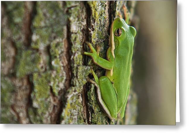 Lawrence County Greeting Cards - Green Tree Frog Thinking Greeting Card by Douglas Barnett