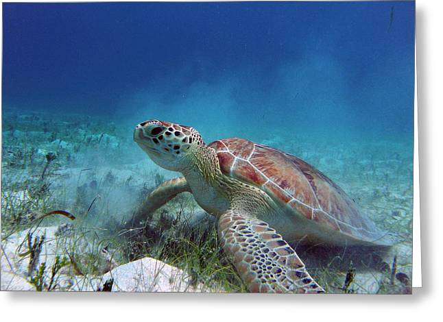 Snorkel Greeting Cards - Green Turtle Greeting Card by Kimberly Mohlenhoff