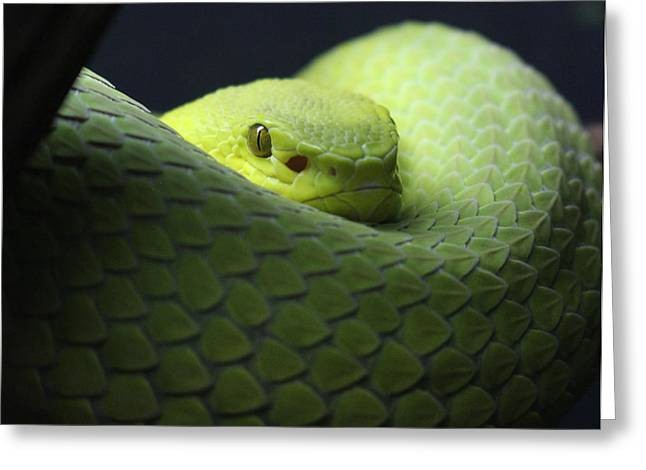 Green Viper Snake Greeting Card by Virginia Artist