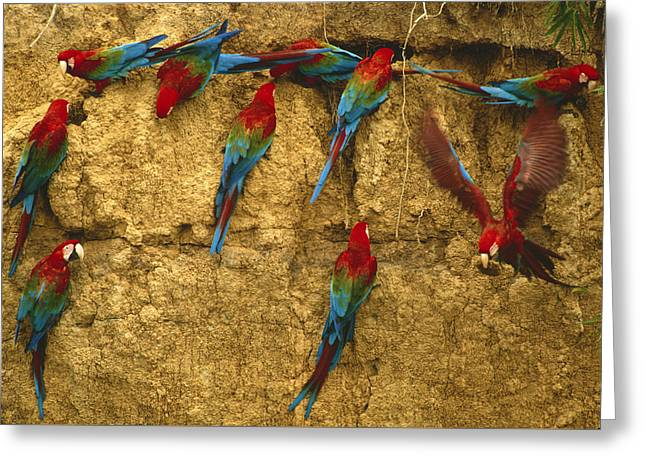 Green Winged Macaws At Clay Lick Greeting Card by Michael Turco