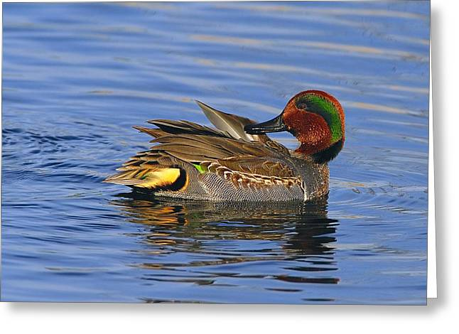 Preening Greeting Cards - Green-winged Teal Greeting Card by Tony Beck