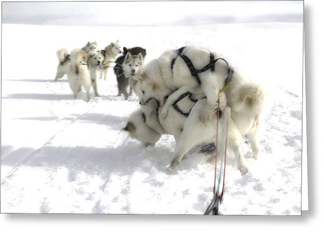 Husky Greeting Cards - Greenland Huskie Rabble Greeting Card by Mike Fisher
