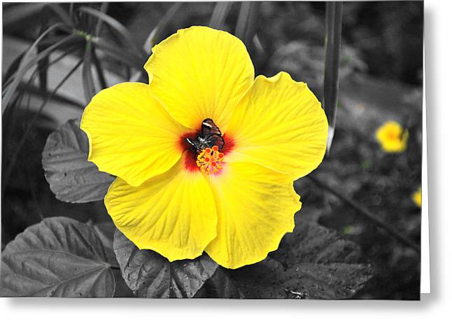 Greta Oto Butterfly Hidding In The Hibiscus Greeting Card by Debra  Miller