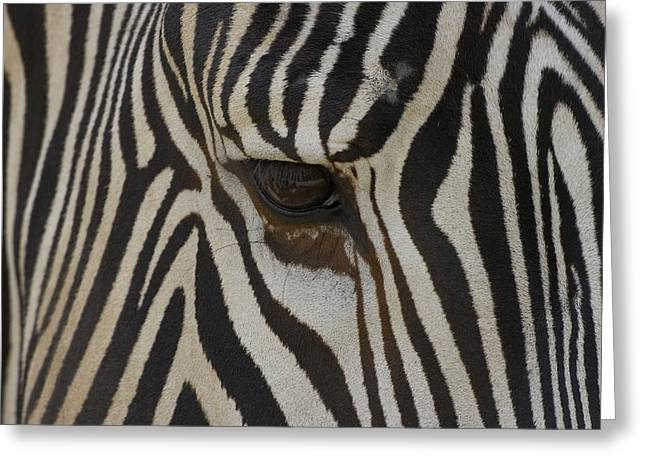 Equidae Greeting Cards - Grevys Zebra Equus Grevyi Close Greeting Card by Zssd