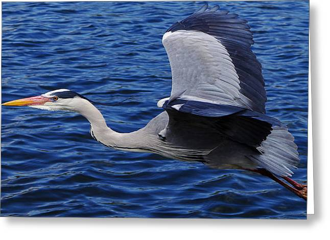 Grey Heron Greeting Cards - Graceful Grey Heron  Greeting Card by Dinkum