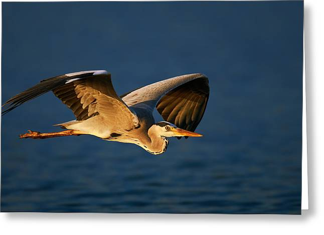 Heron.birds Greeting Cards - Grey heron in flight Greeting Card by Johan Swanepoel