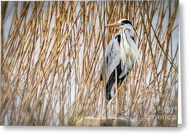 Pelicaniformes Greeting Cards - Grey Heron Greeting Card by Jivko Nakev