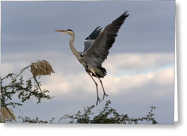 Grey Heron Greeting Cards - Grey Heron Greeting Card by Johan Elzenga