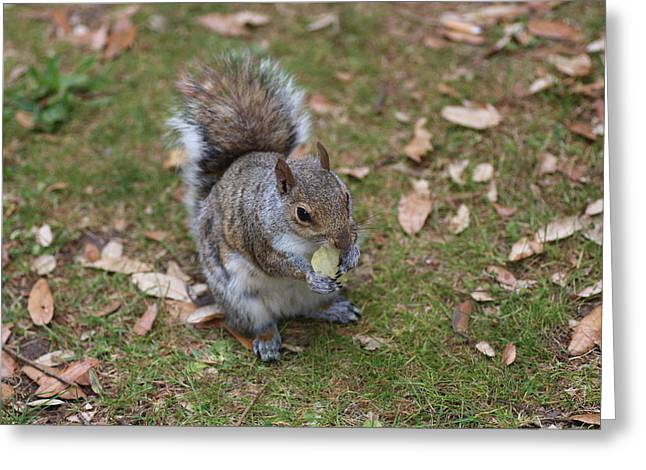Sciurus Carolinensis Greeting Cards - Grey Squirrel Eating Chips Greeting Card by Rumyana Whitcher