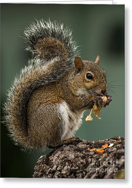 Grey Squirrel Greeting Card by Zina Stromberg