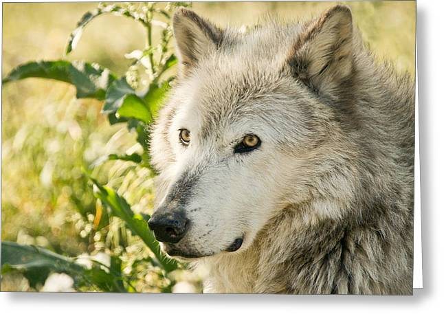 Puppies Photographs Greeting Cards - Grey Wolf In Springtime Greeting Card by Athena Mckinzie