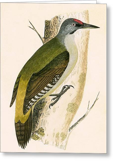 Grey Woodpecker Greeting Card by English School