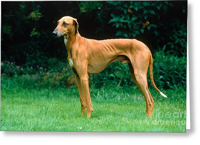 Sight Hound Greeting Cards - Greyhound Greeting Card by Jean-Louis Klein & Marie-Luce Hubert