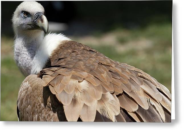Griffon Greeting Cards - Griffon Vulture Greeting Card by D Plinth