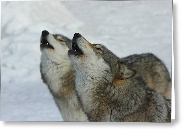 Arctic Wolf Greeting Cards - Grizzer and Maya Howling Greeting Card by Gerry Sibell