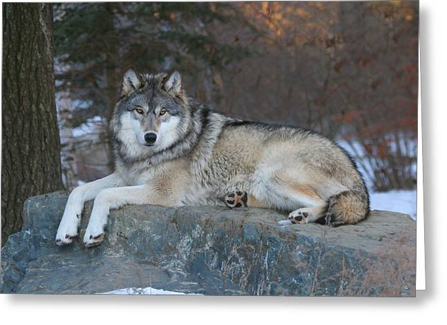 Nature Center Photographs Greeting Cards - Grizzer Intelligence Personified Greeting Card by Gerry Sibell