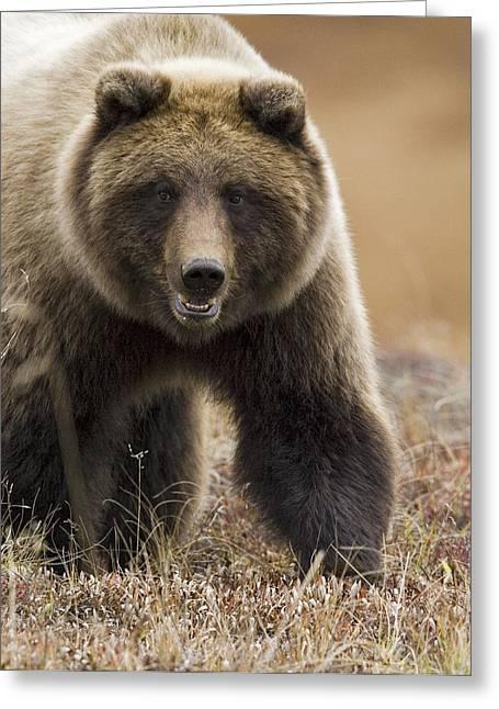 Gram Greeting Cards - Grizzly Bear- Eye to Eye Greeting Card by Tim Grams