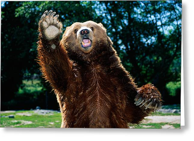 Waist Up Greeting Cards - Grizzly Bear On Hind Legs Greeting Card by Panoramic Images