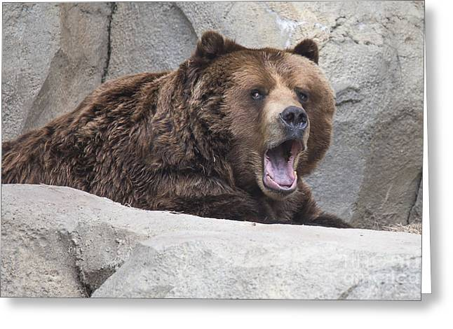 Kodiak Greeting Cards - Grizzly Bear Greeting Card by Twenty Two North Photography