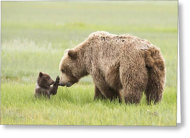 Face To Face Greeting Cards - Grizzly Bear _ursus Arctos Horribilis_ Greeting Card by Daisy Gilardini