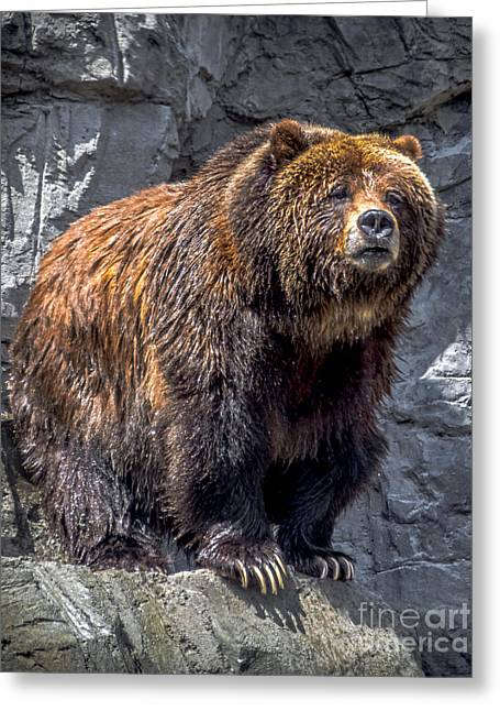 Gray Hair Greeting Cards - Grizzly Pose Greeting Card by James Aiken