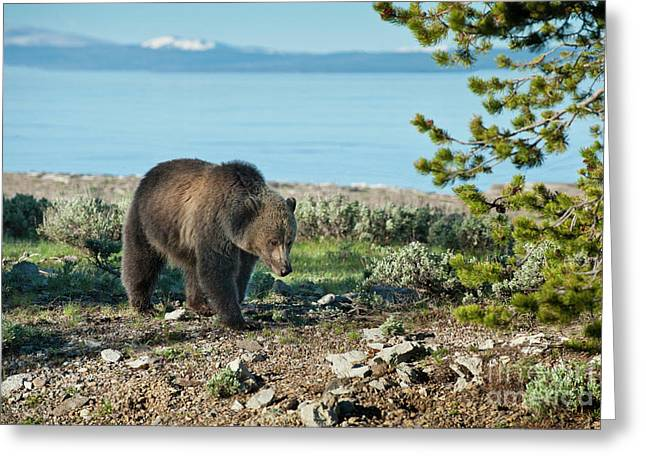 Wyoming Wildlife Greeting Cards - Grizzly Sow at Yellowstone Lake Greeting Card by Sandra Bronstein