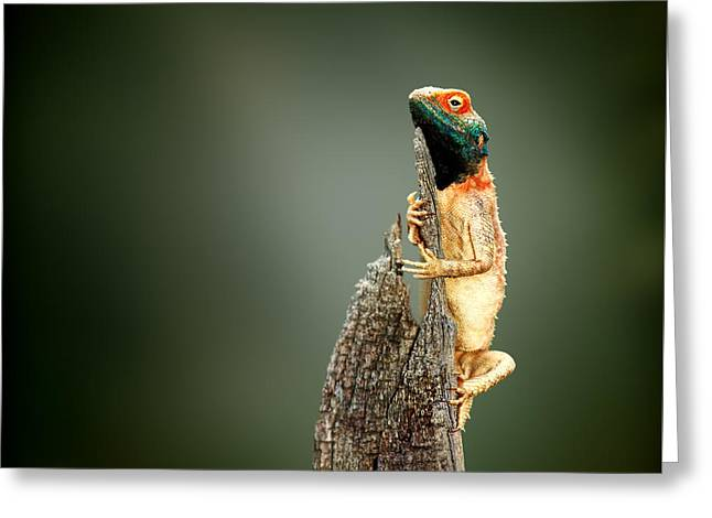Sat Photographs Greeting Cards - Ground agama sunbathing Greeting Card by Johan Swanepoel