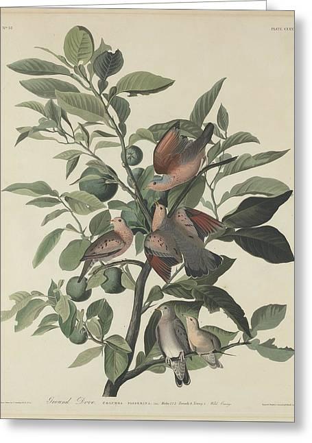 Ground Dove Greeting Card by John James Audubon