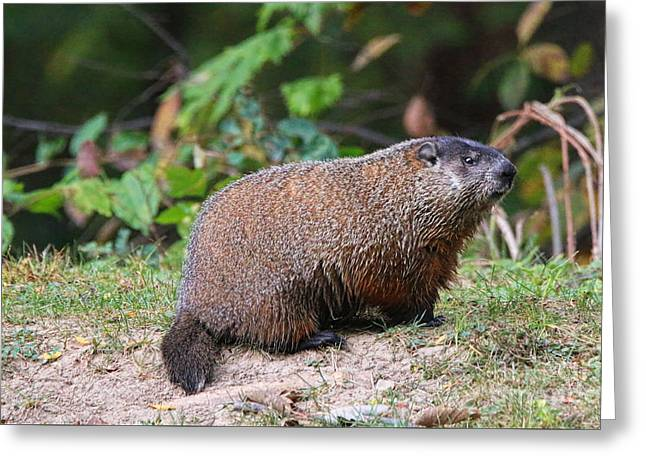 Groundhog  0590 Greeting Card by Jack Schultz
