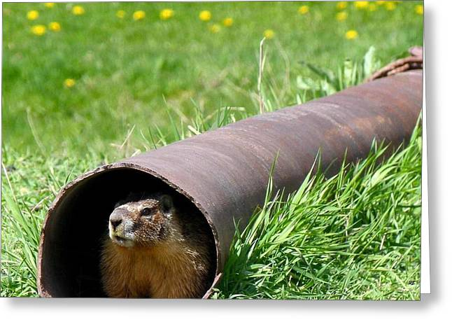 Groundhog In A Pipe Greeting Card by Will Borden