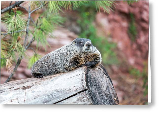 Groundhog On A Log Greeting Card by Jess Kraft