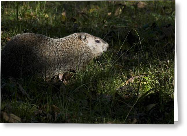 Duke Island Park Greeting Cards - Groundhog or Woodchuck Greeting Card by Warren M Gray
