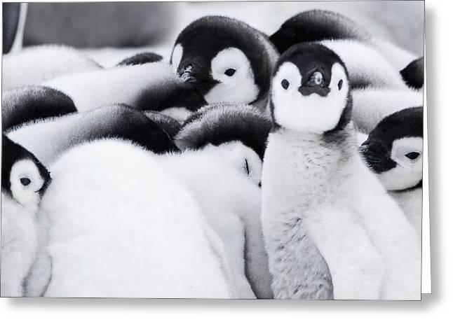 Group Of Emperor Penguin  Aptenodytes Greeting Card by Daisy Gilardini