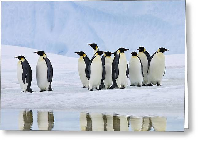 Reflection In Water Greeting Cards - Group Of Emperor Penguins Greeting Card by Jean-Louis Klein & Marie-Luce Hubert