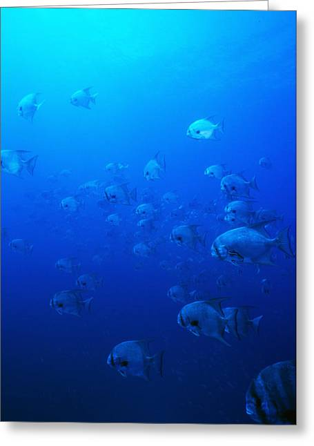 Group Of Pacific Spadefish Swimming Greeting Card by James Forte