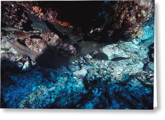 Reef Fish Greeting Cards - Group Of Panamic Green Eels In Reef Greeting Card by James Forte