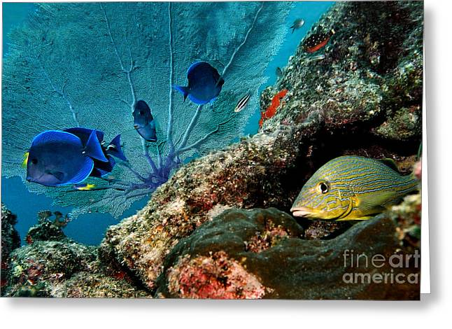 Grunts Greeting Cards - French Grunt and Blue Tangs Cozumel Mexico Greeting Card by Ray Manning
