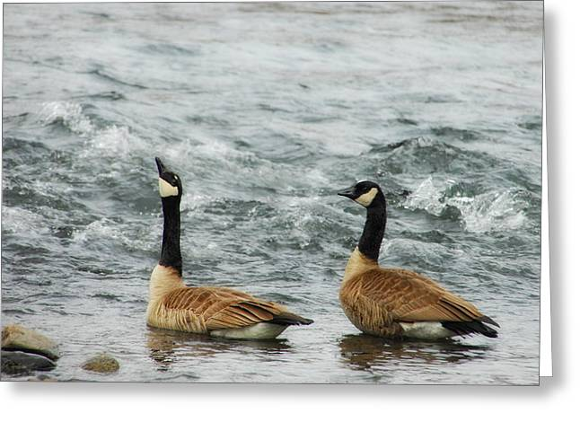 Wild Goose Greeting Cards - Guess Whos Coming To Dinner Greeting Card by Donna Blackhall