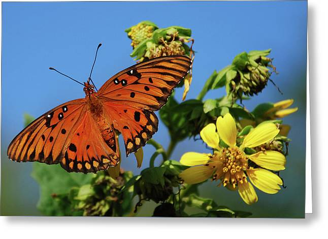 Buterfly Greeting Cards - Gulf Fritillary Butterfly Greeting Card by Skip Willits