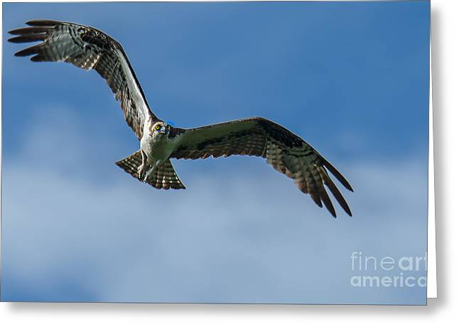 Eagle Tapestries - Textiles Greeting Cards - Gulf Osprey Greeting Card by James Hennis